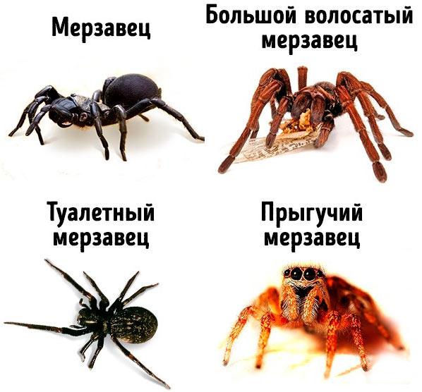 любить Австралию  пауки Australia spiders