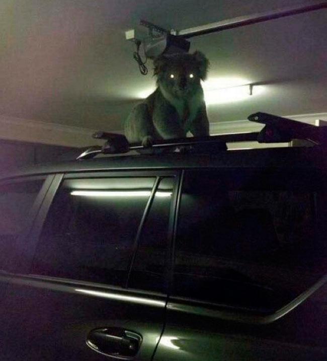 любить Австралию  коала Australia koala