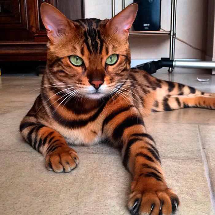 Самые красивые кошки в мире тор бенгальский кот с леопардовым окрасом