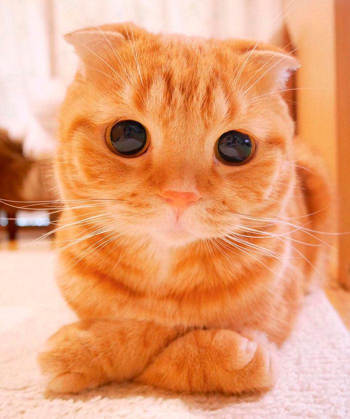 Самые красивые кошки в мире шотландская вислоухая beautiful cats