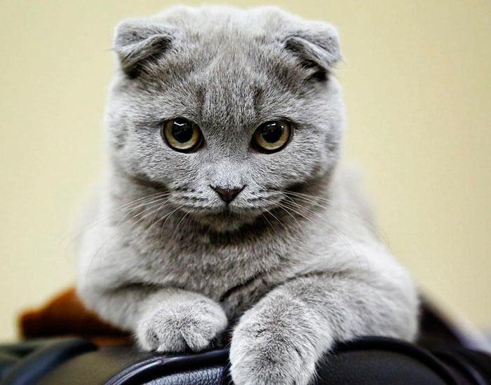 Самые красивые кошки в мире представитель шотландских вислоухих beautiful cats
