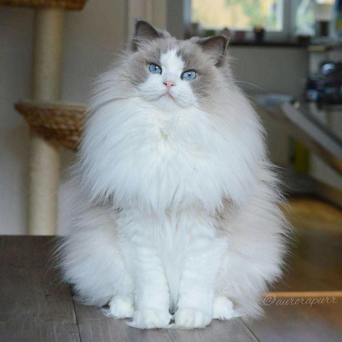 Самые красивые кошки в мире аврора белая пушистая beautiful cats