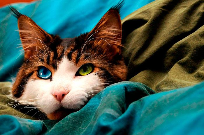 Самые красивые кошки в мире шайенн голубо-зеленоглазый мейн кун beautiful cats