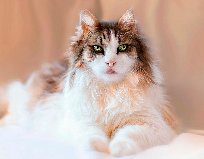 Самые красивые кошки в мире мейн кун с завораживающим взглядом beautiful cats