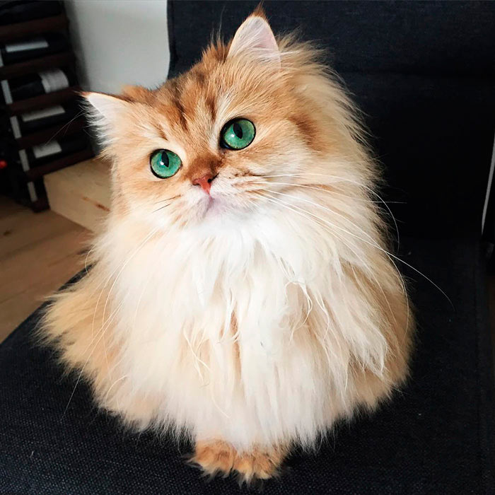 Самые красивые кошки в мире смузи самая фотогеничная кошка в мире