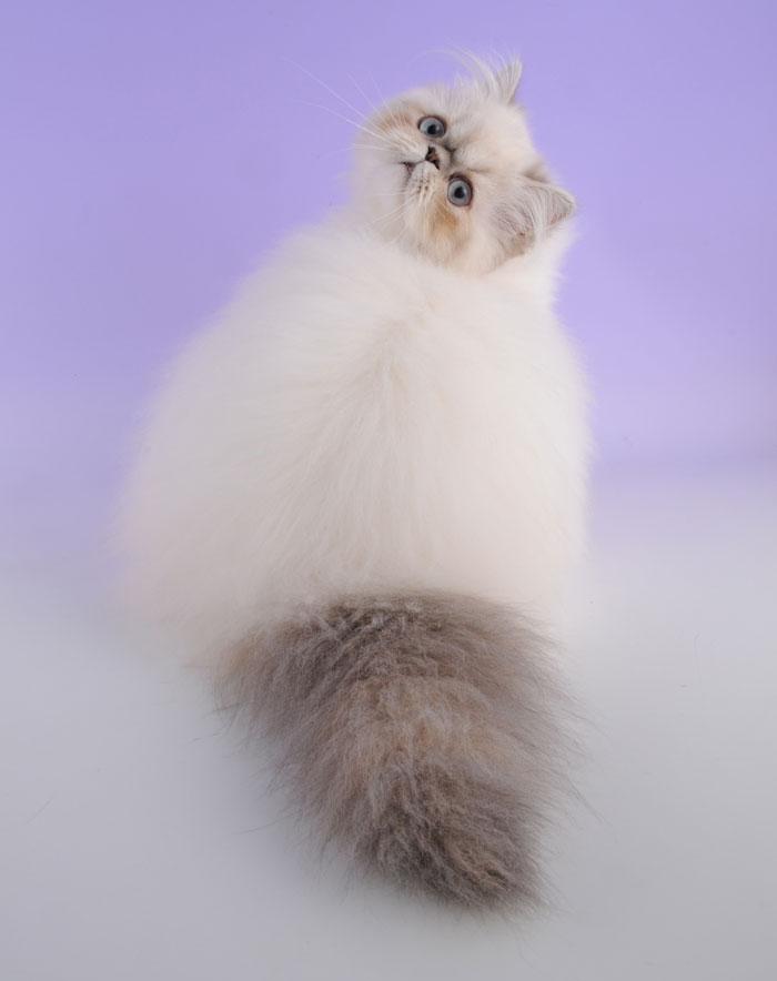 Самые красивые кошки в мире гималайский кот beautiful cats