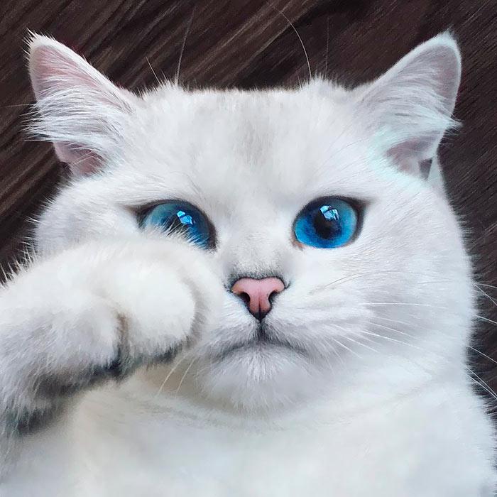 Самые красивые кошки в мире коби голубоглазый красавец beautiful cats