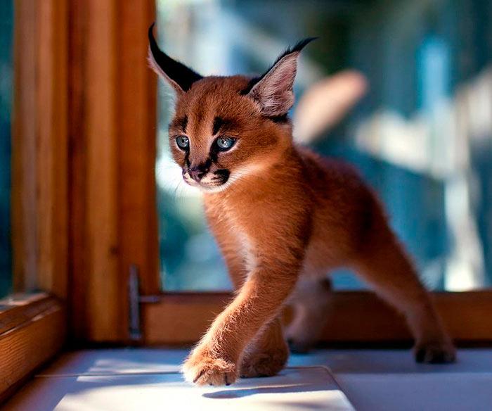 Самые красивые кошки в мире маленький домашний каракал beautiful cats