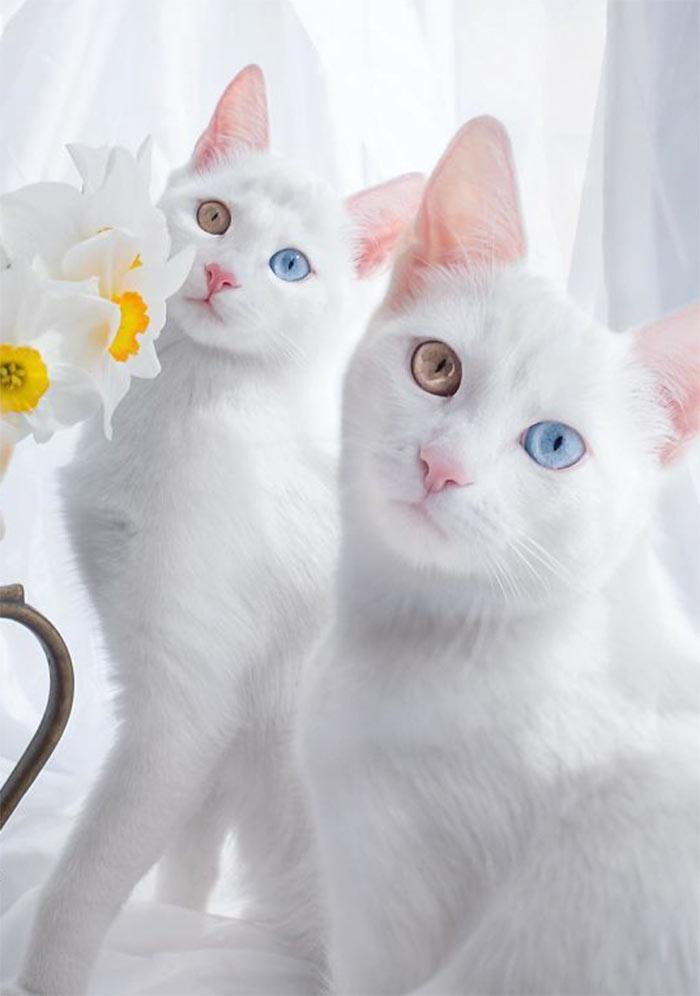 Самые красивые кошки в мире близнецы ирис и абис beautiful cats