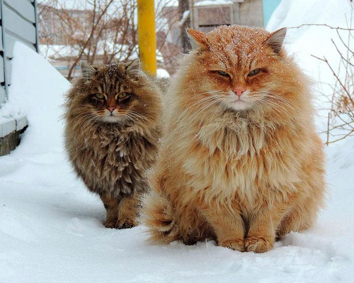 Самые красивые кошки в мире суровые сибирские кошки beautiful cat
