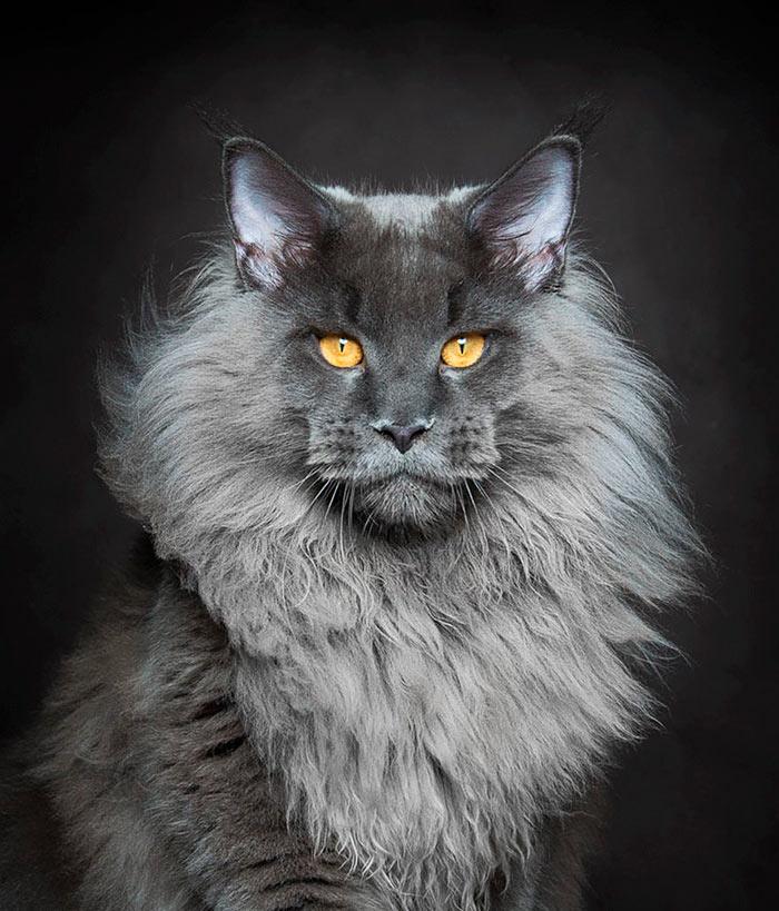 Самые красивые кошки в мире мейн кун с львиной гривой beautiful cats
