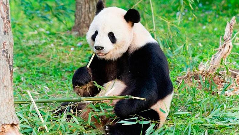 15 интересных фактов самки панд фертильны лишь 24-36 часов в год