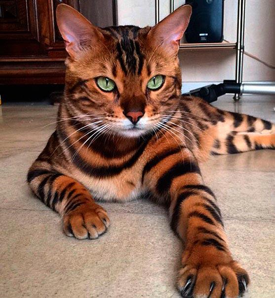 Необыкновенный красавец - бенгальский кот