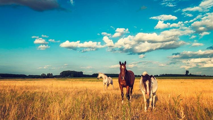 Замечательная Венгрия Лошади в поле