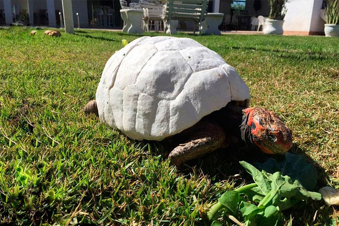 Черепаха получила новый панцирь напечатанный на 3D-принтере