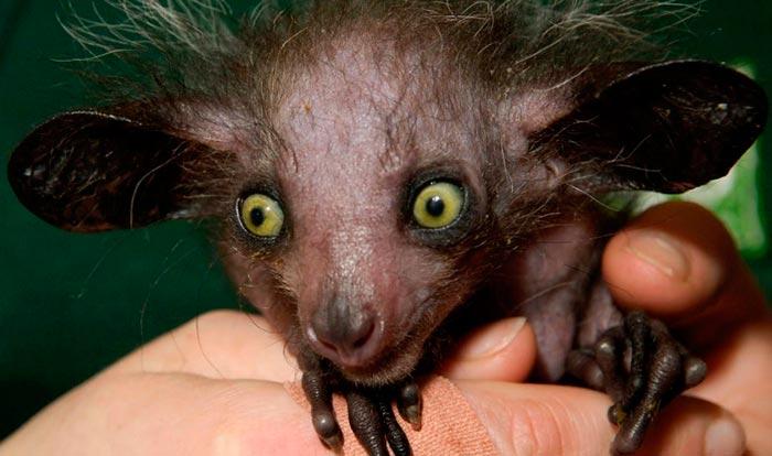 Пугающие животные из фильмов ужасов и ночных кошмаров Руконожка мадагаскарская