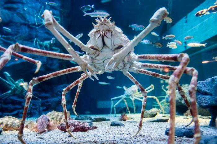 Пугающие животные из фильмов ужасов и ночных кошмаров Японский краб-паук