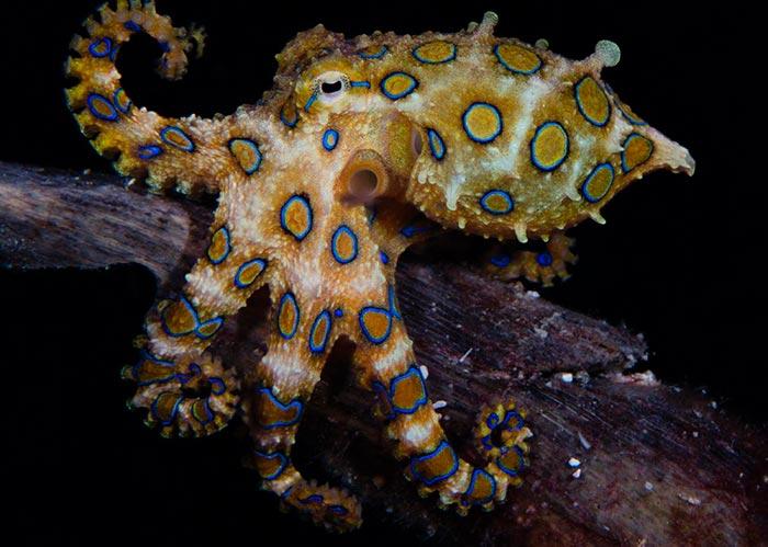 Пугающие животные из фильмов ужасов и ночных кошмаров Синекольчатый осьминог