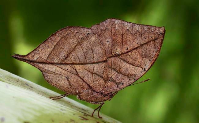ТОП-10 бабочек поразительной красоты Бабочка-листовидка