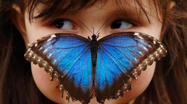 ТОП-10 бабочек поразительной красоты Морфо менелай
