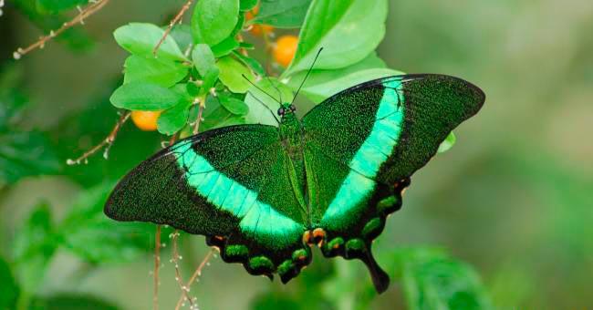 ТОП-10 бабочек поразительной красоты Парусник палинур