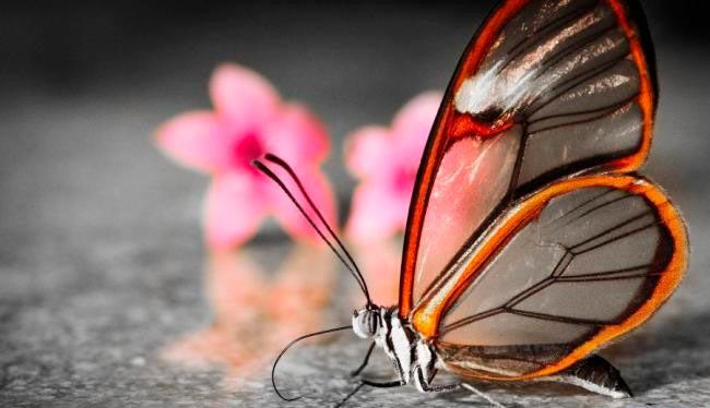 ТОП-10 бабочек поразительной красоты Стеклянная бабочка
