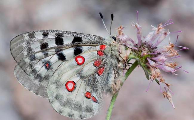 ТОП-10 бабочек поразительной красоты Бабочка апполон