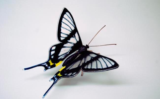 ТОП-10 бабочек поразительной красоты Sylphina angel