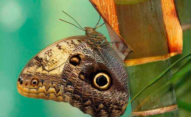 ТОП-10 бабочек поразительной красоты Лесная бабочка гигантская сова
