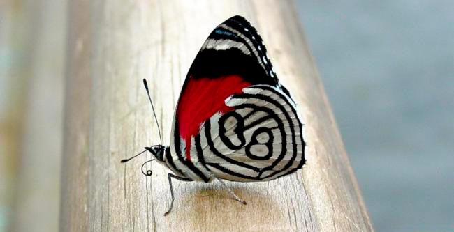 """ТОП-10 бабочек поразительной красоты Бабочка """"восемьдесят восемь"""""""