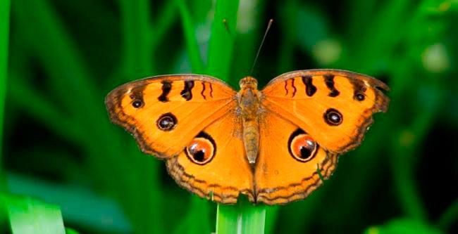ТОП-10 бабочек поразительной красоты Peacock pansy