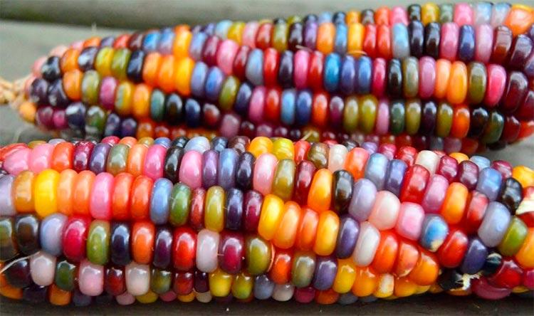 Овощи, которые похожи на находки с другой планеты Разноцветная кукуруза