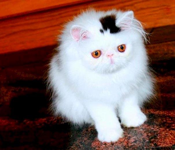 amazing coloring wool cats 10 - Коты с самой необычной раскраской шерсти