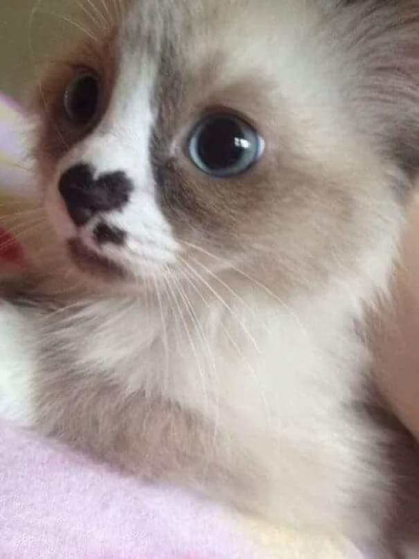amazing coloring wool cats 14 - Коты с самой необычной раскраской шерсти