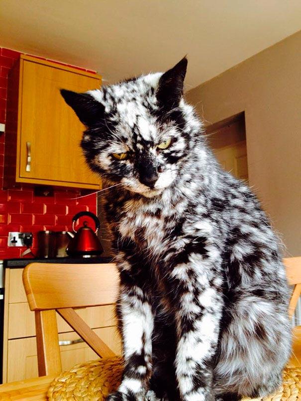 amazing coloring wool cats 17 - Коты с самой необычной раскраской шерсти