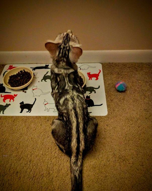 amazing coloring wool cats 18 - Коты с самой необычной раскраской шерсти