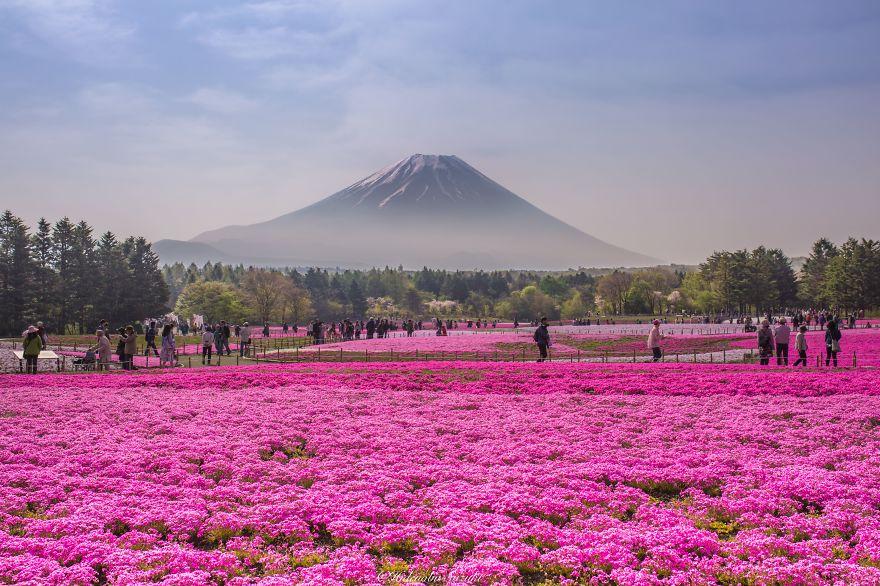 Япония: самые красивые места Japan Поля Шибазакура