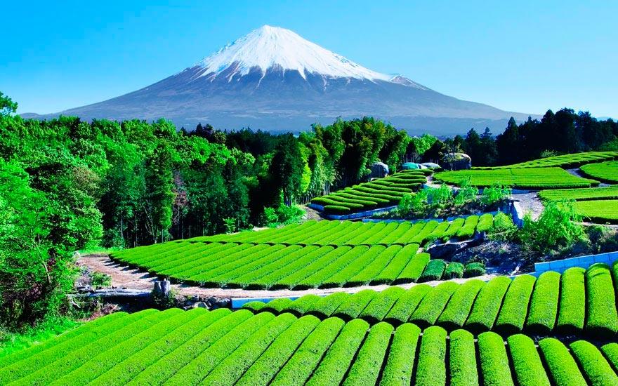 Япония: самые красивые места Japan Чайный сад с видом на гору Фудзи