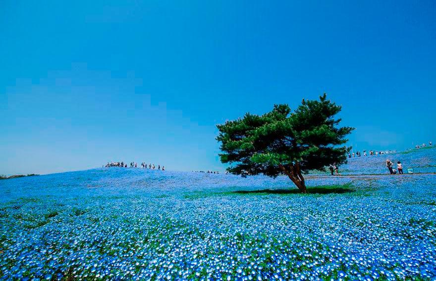 Япония: самые красивые места Japan Поле из 4,5 миллионов незабудок в парке Хитачи