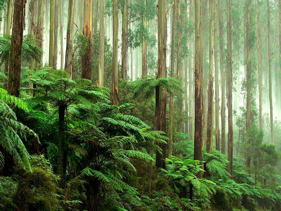 Восхитительная красота Австралии Дорога Black Spur Drive, штат Виктория