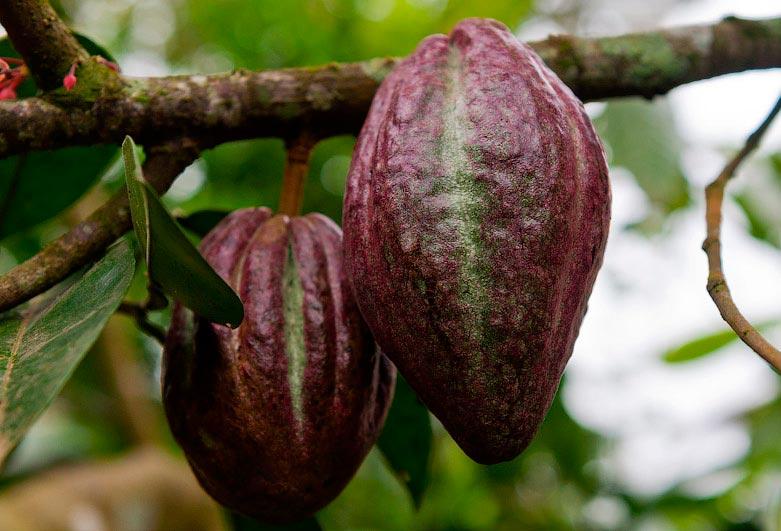 Индонезия: как обрабатывают и выращивают какао