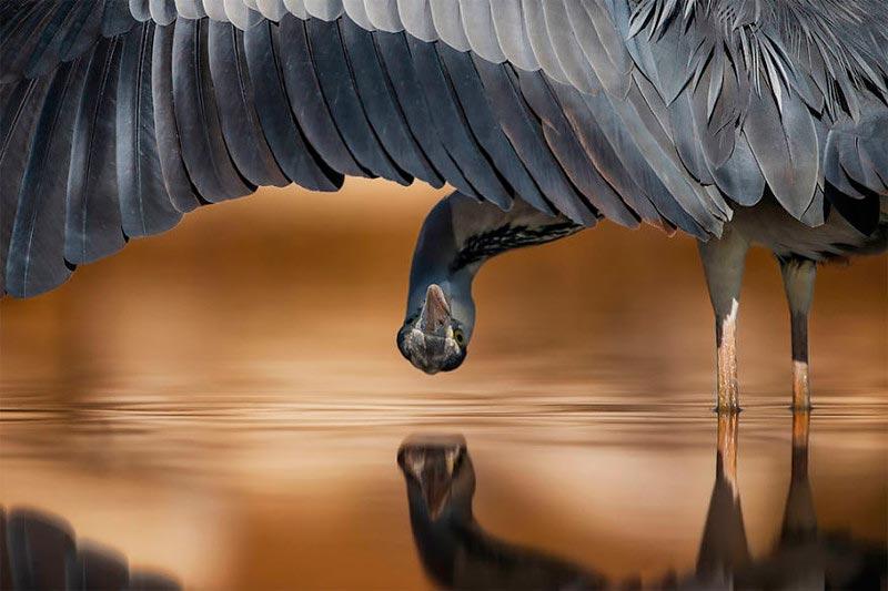 Bird Photographer of the Year 2017: лучшие фотографии птиц Серая цапля. Ахманд Аль-Эсса, Кувейт