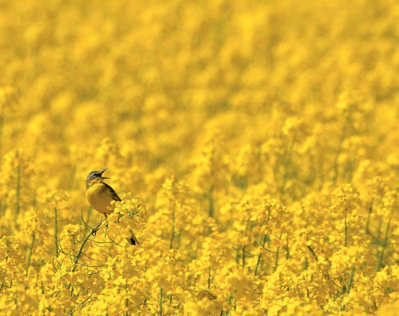 Bird Photographer of the Year 2017: лучшие фотографии птиц Желтая трясогузка. Роберт Шафранек, Польша