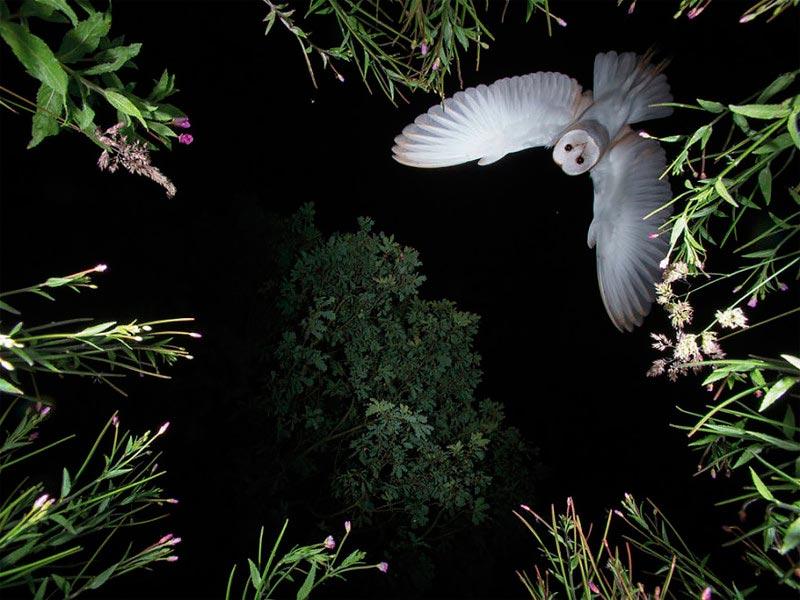 Bird Photographer of the Year 2017: лучшие фотографии птиц Сипуха обыкновенная. Рой Риммер, Великобритания