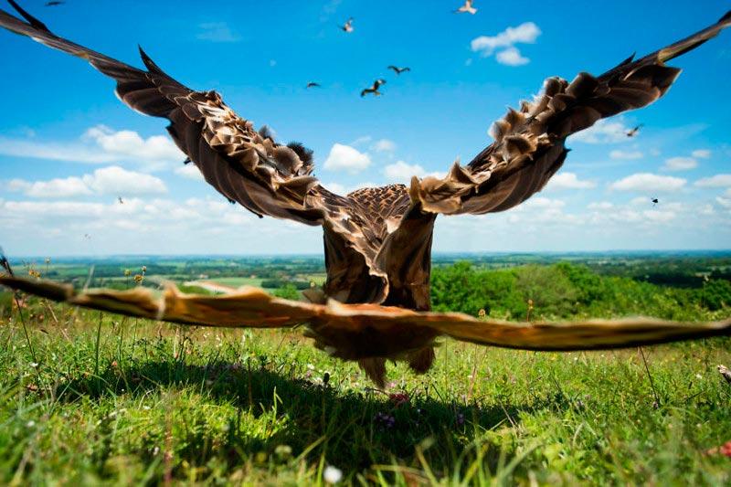 Bird Photographer of the Year 2017: лучшие фотографии птиц Красный коршун. Джейми Холл, Великобритания