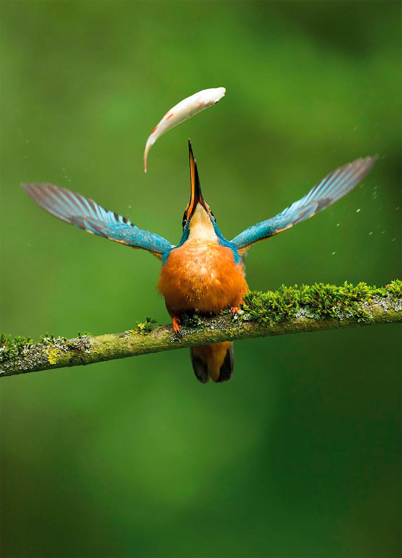 Bird Photographer of the Year 2017: лучшие фотографии птиц Улов дня. Винс Бертон, Великобритания