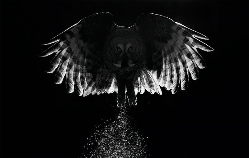 Bird Photographer of the Year 2017: лучшие фотографии птиц Сумерки. Маркус Варесвуо, Финляндия