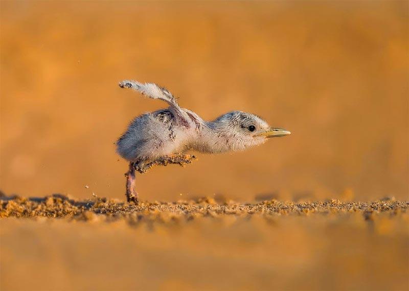 Bird Photographer of the Year 2017: лучшие фотографии птиц На полной скорости. Файзаль Альномас, Кувейт