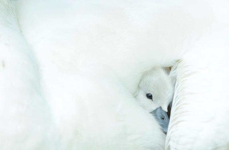Bird Photographer of the Year 2017: лучшие фотографии птиц Молодой лебедь. Бен Эндрю