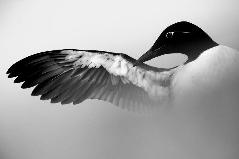 Bird Photographer of the Year 2017: лучшие фотографии птиц Крыло кайры. Марк Вебер